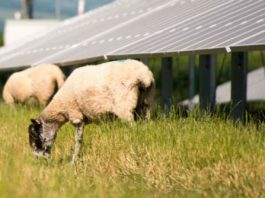 Photograph of Solar PV Array with Grazing Sheep